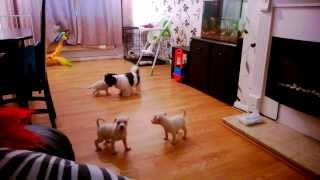 Full Breed White Staffordshire Bull Terrier Pups Vs Shih Tzu