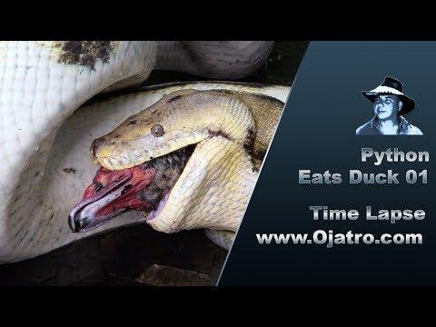 Python Eats Duck 01 Time Lapse