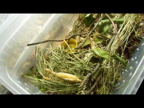 Уход За богомолом Mantis Religiosa( Богомолом обыкновенным)