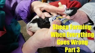 Sheep Farming: When Everything Goes Wrong - Part 3
