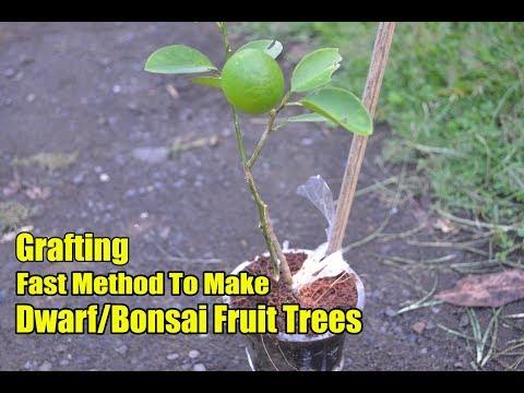 Grafting Fast Method To Make Dwarf Fruit Trees