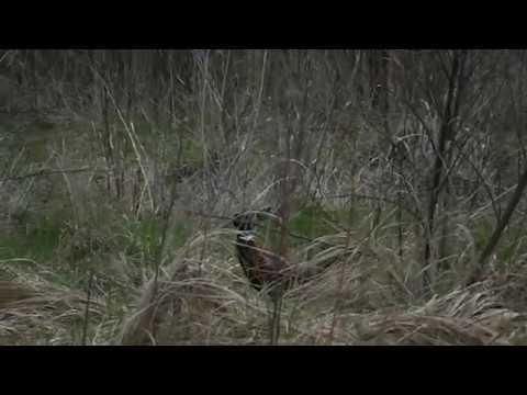 видео ловля фазана