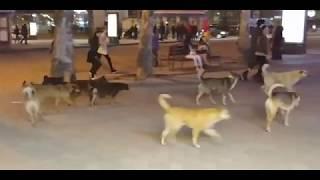 Видео из соцсети: стая бездомных собак бегает по главной улице Николаева