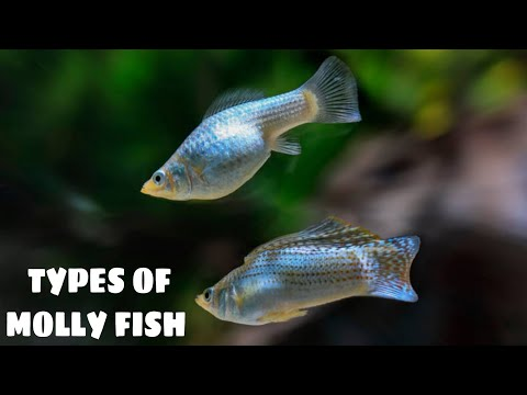 Types Of Molly Fish | Prathmesh Aquatics
