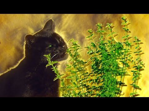 what-happens-when-cats-have-catnip?-|-pets:-wild-at-heart-|-bbc-earth