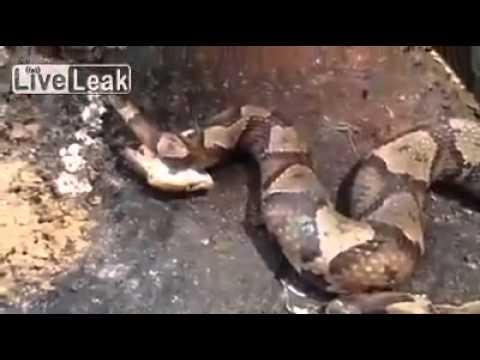Con Trăn Tự Cắn Mình Khi Bị Chặt đầu, Snake Biting Its Own When Beheaded ( Trăn cắn mình)