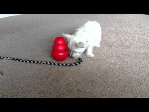 Ziggy the Mighty Westie Conquers the Kong Wobbler