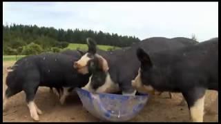 A Pigs Tale - Country Calendar 2015 - www.woodysfarm.co.nz