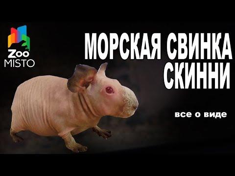 Морская Свинка Скинни - Все о виде грызуна | Вид грызуна - Морская Свинка Скинни