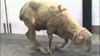 Fièvre catarrhale ovine - l'essentiel à savoir (OVF Suisse, 2012)