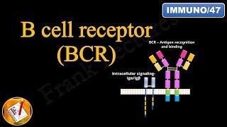 B cell Receptor