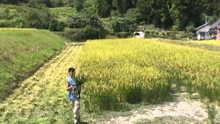 稲の一生:播種からご飯になるまで