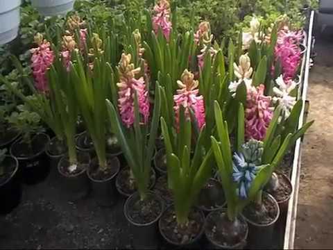 Гиацинт, крокус, нарцисс.Выгонка луковичных, зацветаем - 4 часть, выгонка к 8 марта.