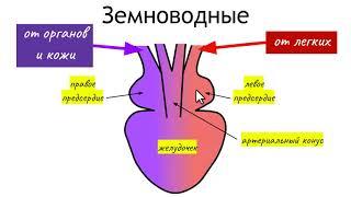 Строение сердца рыб, земноводных, пресмыкающихся, птиц и млекопитающих