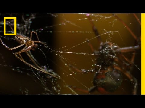 Deadly Cousin: The Redback Spider   National Geographic