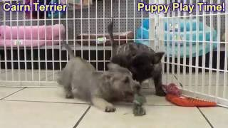 Cairn Terrier,  Puppies For Sale, In Macon, Georgia, Ga, Athens,augusta, Columbus