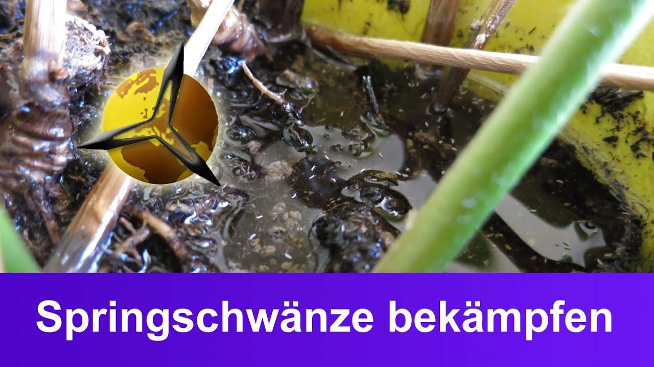 Weiße Flöhe (springschwänze) In Der Blumenerde Bekämpfen - Youtube Fliegen Blumenerde Bekaempfen Tipps