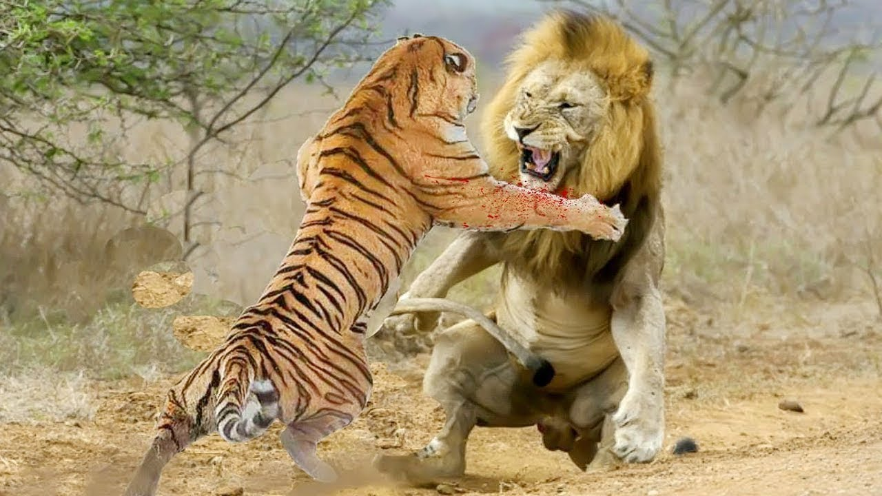King Lion vs Tİger Real Fight to Death | Animal wars on the African grasslands!