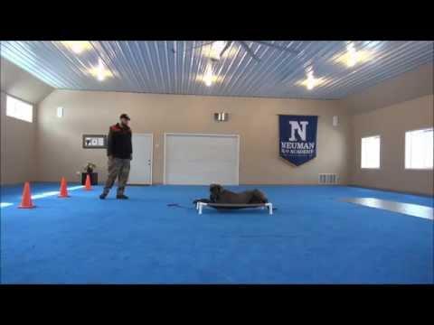 Baloo (Great Dane) Dog Training Demonstrational Video