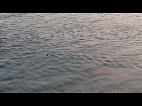 hammerhead shark offshore congo