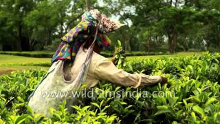 Women workers pluck tea leaves at tea estate in Assam