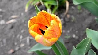 Тюльпаны желтые и красные. Фото и видео цветения тюльпанов весной