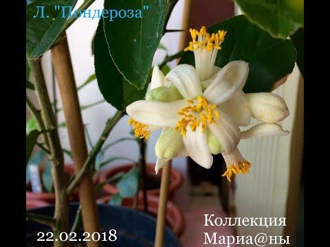 Цветение лимона. Опыление цветочками