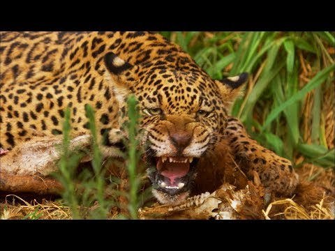 Jaguar Cubs Fight
