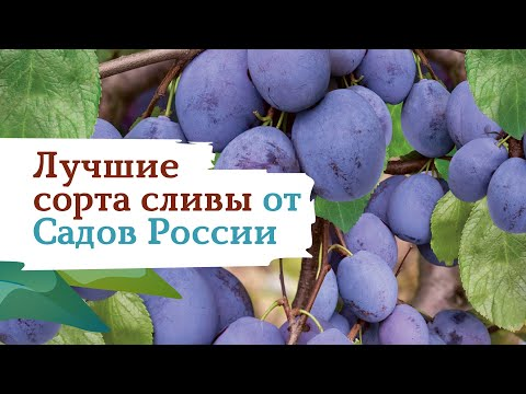 Лучшие сорта сливы от Садов России