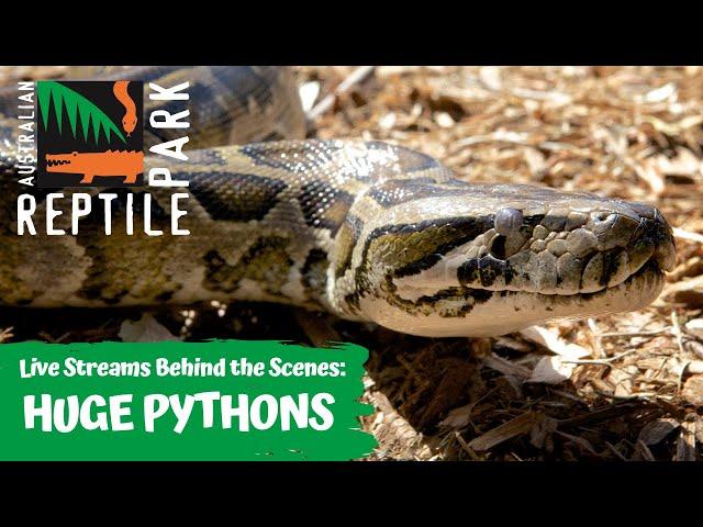 MEET OUR HUGE PYTHONS (FILMED LIVE) | AUSTRALIAN REPTILE PARK