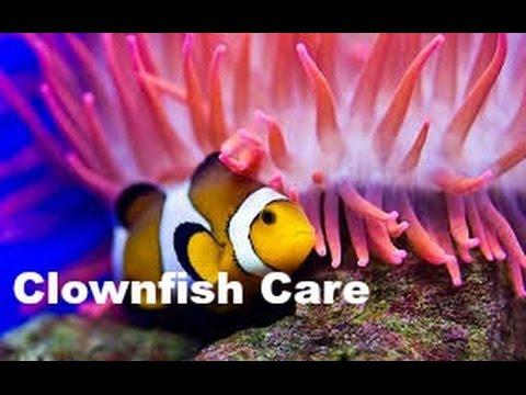 Clownfish amphiprioninae ocellaris care aidan 39 s reef for Clown fish care