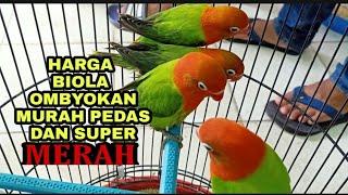 Riview harga LOVEBIRD Biola di pasar Ombyokan - Murah euy !!