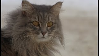 В поисках дома невероятно пушистая и ласковая кошка