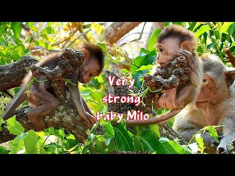 Tiny Baby Monkey Milo Is Super Strong Baby - Baby Milo Can Climb And Play At The Top Of Tree