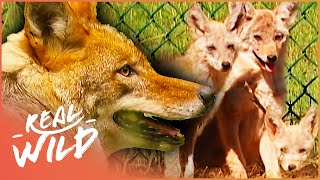 How The Coyote Became Top Dog (Wildlife Documentary) | Natural Kingdom | Real Wild