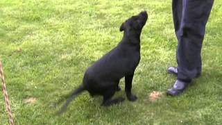 Clicker Training A Labrador Puppy