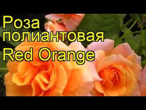 Роза полиантовая Ред Оранж. Краткий обзор, описание характеристик, где купить саженцы Red Orange