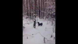 Восточно-сибирская Лайка - охота по соболю