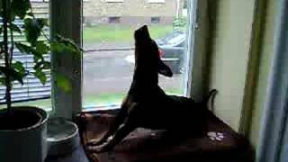 Funny Dog Howling To The Bomb Alarm Test Signal, Miniature Pinscher