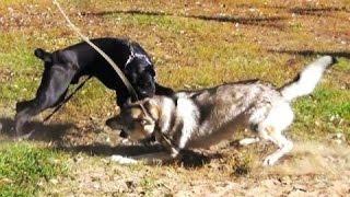 Лучшее видео с собаками, обучение, подготовка к окд