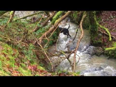 GWP retrieving fox