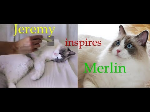 Will famous Ragdoll Jeremy help with Merlins's grooming problem??