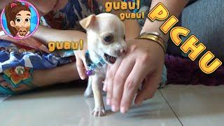 Pichu - La Nueva Mascota de Yesly | Pichurrumina | 2 Meses de edad | MY CHIHUAHUA DOG PÍCHU