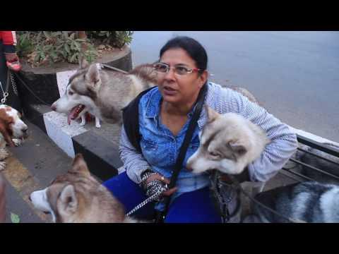 Lady with 6 Siberian Husky in Surat I Pet Walk by Animal friend