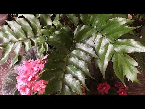 Циртомиум. Уход за папоротником Cyrtomium falcatum Rochfordianum Japanese.