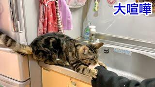 台所へ何度もイタズラしにきて飼い主と大喧嘩になってしまった子猫w
