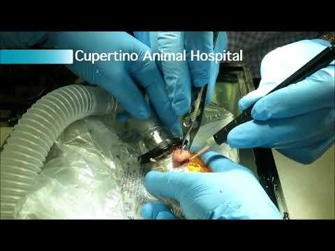 Cupertino Animal Hospital surgically removes a tumor from a goldfish