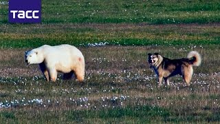 Пес Боцман защищает метеорологов острова Белый от медведей