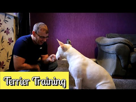 Daily obedience training for bull terriers