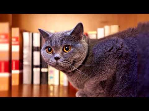 Британская короткошёрстная кошка. Плюсы и минусы, Цена, Как выбрать, Факты, Уход, История